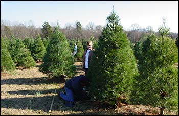 Valley Christmas Tree Plantationchoose and cut christmas trees