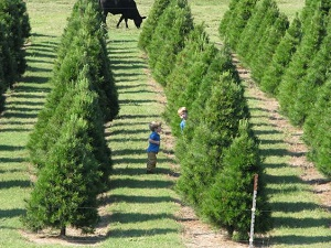 Neely Farms Christmas Trees