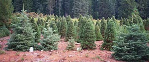 Brent's Christmas Trees