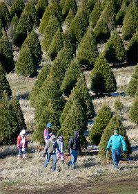 Chicagoland, Illinois Christmas Tree Farms: choose-and-cut ...