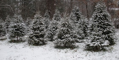 Wolf Hill Farm - Christmas trees-you choose and you cut,