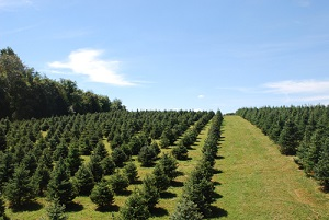Baltimore and Central Maryland Christmas Tree Farms: choose-and ...