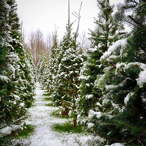 Seattle Area King Kitsap Snohomish Counties Christmas Tree Farms