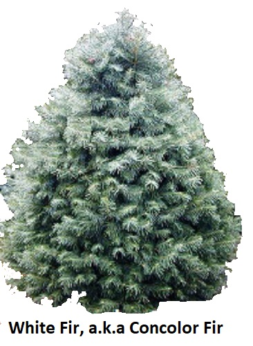 Christmas Tree Varieties Photos And Information To Choose The Best