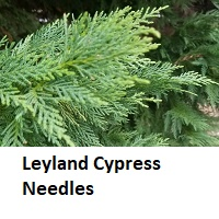 Leyland Cypress needles close-up