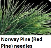 Norway Pine needs close up