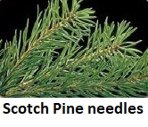 Scotch Pine needles close-up