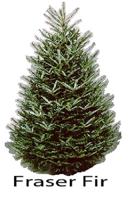 Christmas Tree Varieties: Photos and Information to Choose the ...